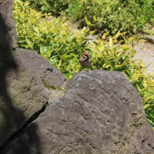 岩の上のスズメ