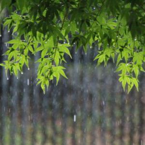 梅雨どきのモミジ