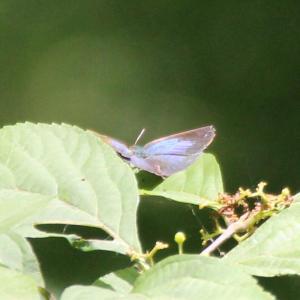 青色の羽根した蝶々