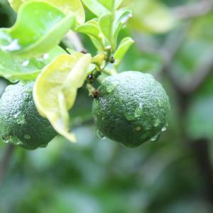 雨滴る緑の果実