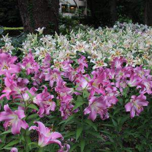 日比谷公園のユリの花園