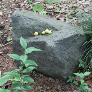 岩とウメの実