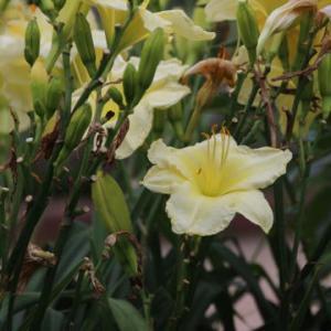 黄色のヘメロカリス