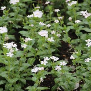 ニチニチソウの花壇