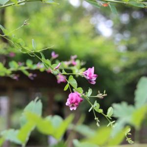 ポツポツとハギの花