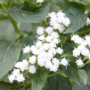 白いポンポンみたいな花とムシ