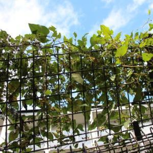 たくさん実をつけたツル植物