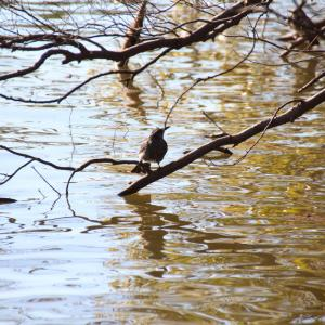 水面の枝の野鳥