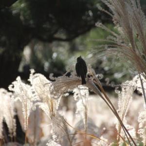 ススキと野鳥