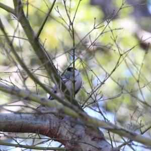 枝の間のシジュウカラさん