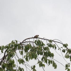 曇天と梢の野鳥
