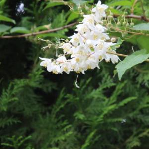 ぷらんとウツギの花