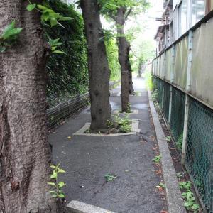 桜並木の路地・・?