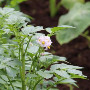 菜園の薄紫の花