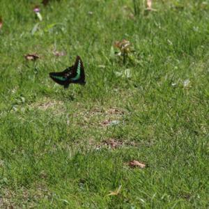 芝生のアオスジアゲハ
