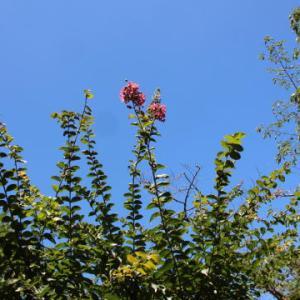 夏空とピンクのサルスベリ