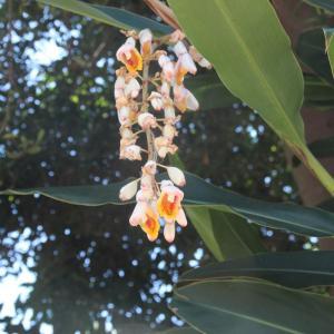 ゲットウの花