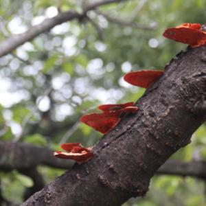 枝のキノコ