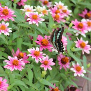 花壇のチョウチョウたち