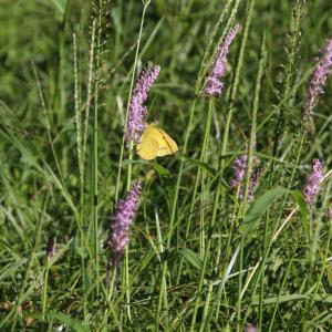 ツルボと黄色い蝶々