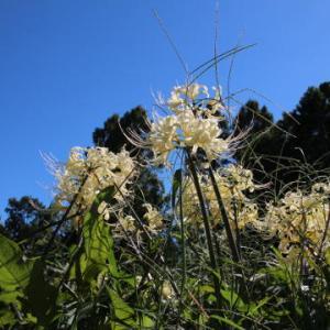 秋晴れと白いヒガンバナ