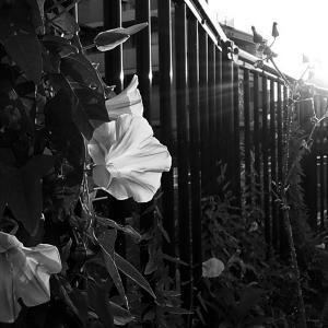 その68 風景の花(12) 昼顔
