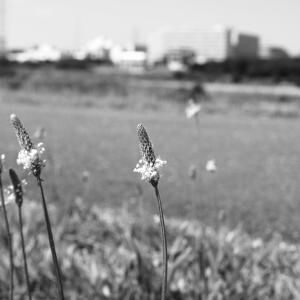 その73 風景の花(15) ヘラオオバコ