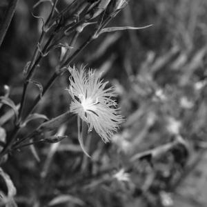 その102 風景の花(40) ナデシコ