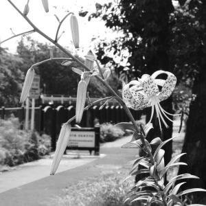 その103 風景の花(41) オニユリ