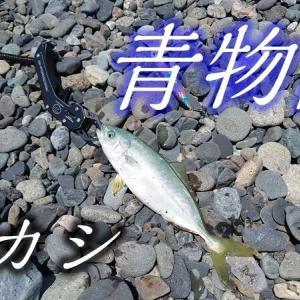 【静岡県内サーフ】夏到来!?青物シーズンの開幕!!