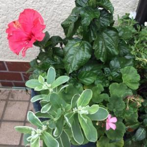 今朝の花と「サボテンの蕾」も見つけた!