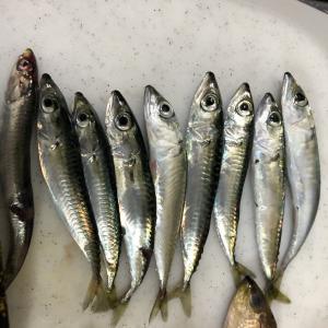 小魚と外道の美味しい食べ方!米神漁港で釣ってきた小サバとウツボの唐揚げ