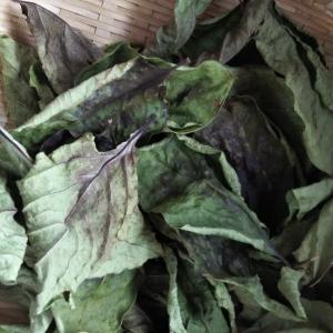 柿の葉茶を飲む