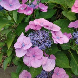街路樹の額紫陽花