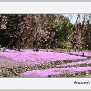 永沢寺の芝桜(その1)