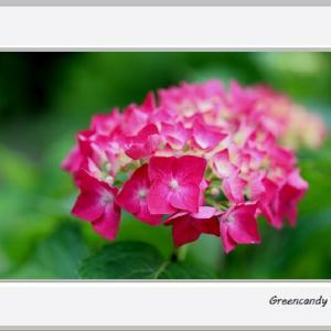 三室戸寺の紫陽花(その4)
