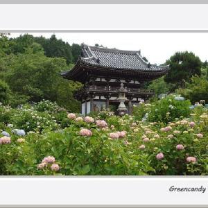 華観音寺の紫陽花(その1)