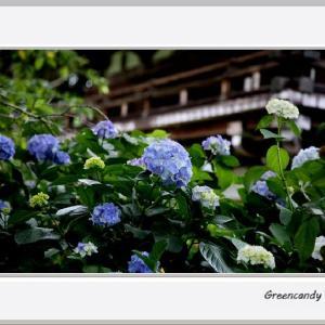 華観音寺の紫陽花(その2)
