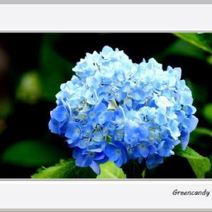 三室戸寺の紫陽花(その5)