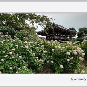華観音寺の紫陽花(その3)