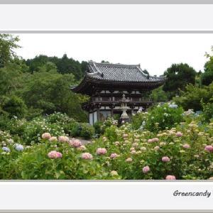 華観音寺の紫陽花(その4)