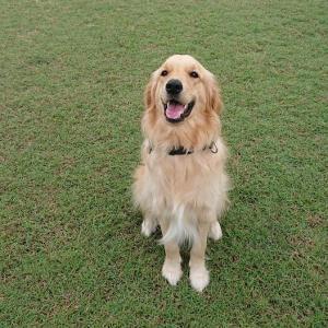 オーストラリアで犬を飼う – ⑤お帰りタマ〇マ😆 遊んでしつけ、散歩で社会勉強。