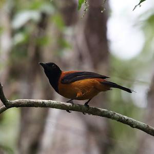 有毒鳥~ズグロモリモズ(Hooded Pitohui)