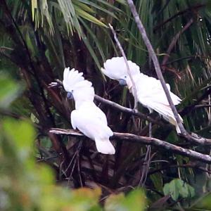 1200種記念!~タイハクオウム(White Cockatoo)