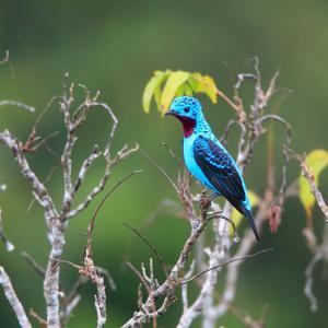 スパンコールな鳥~ソライロカザリドリ(Spangled Cotinga)