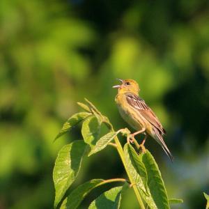 日本の誇る美しい鳥~ノジコ(Japanese yellow bunting)