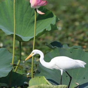 期間限定夏羽~ダイサギ(Great Egret)