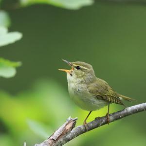 日本の夏~メボソムシクイ(Japanese Leaf-warbler)