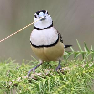 ペンギンみたいな雀~カノコスズメ(Double-barred Finch)