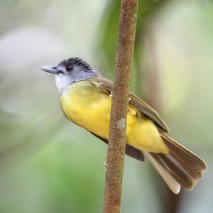 大人の事情~ハイガシラアゴカンムリヒヨドリ(Yellow-bellied Bulbul)